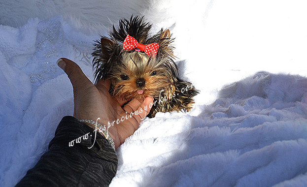 BABYDOLL FACED YORKIES / CANADA | TEACUP YORKIES