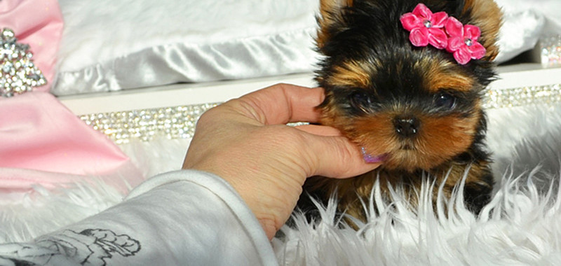 Babydoll Faced Yorkies Canada Teacup Yorkies